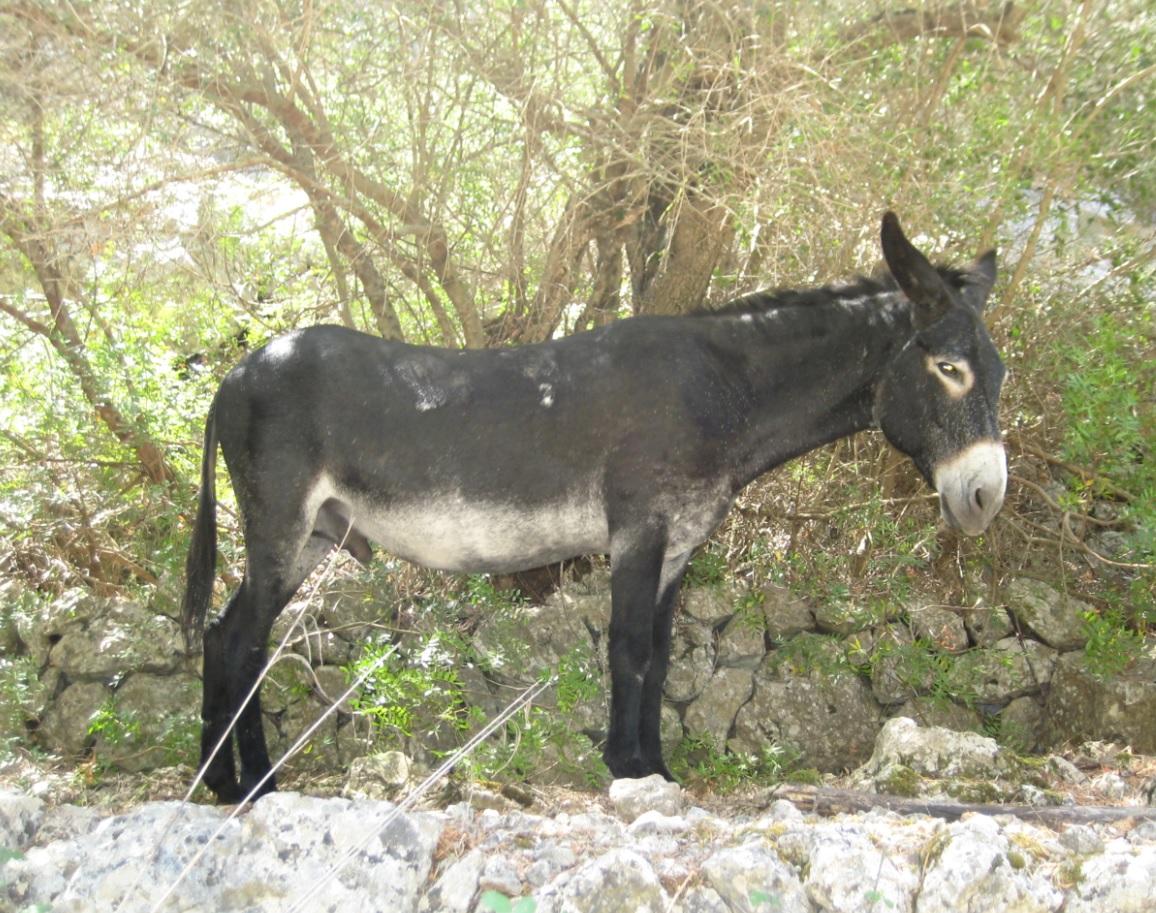 Esel auf der Insel Mallorca